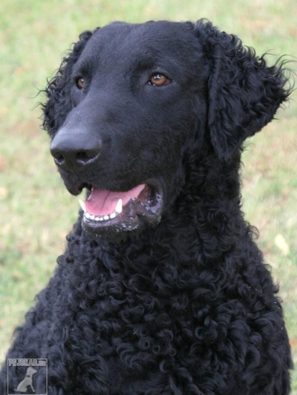 Curly Coated Retrívr (Curly Coated Retriever) - Kudrnatý retrívr