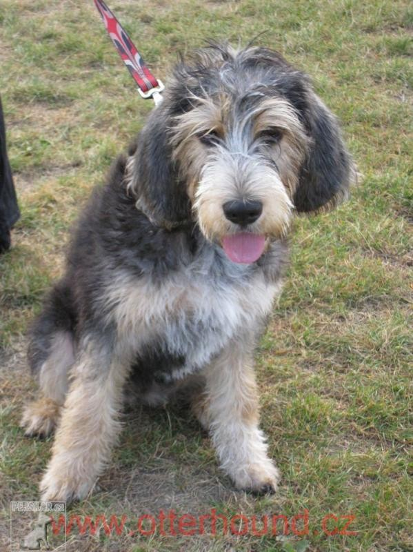 Vydrař (Otterhound)